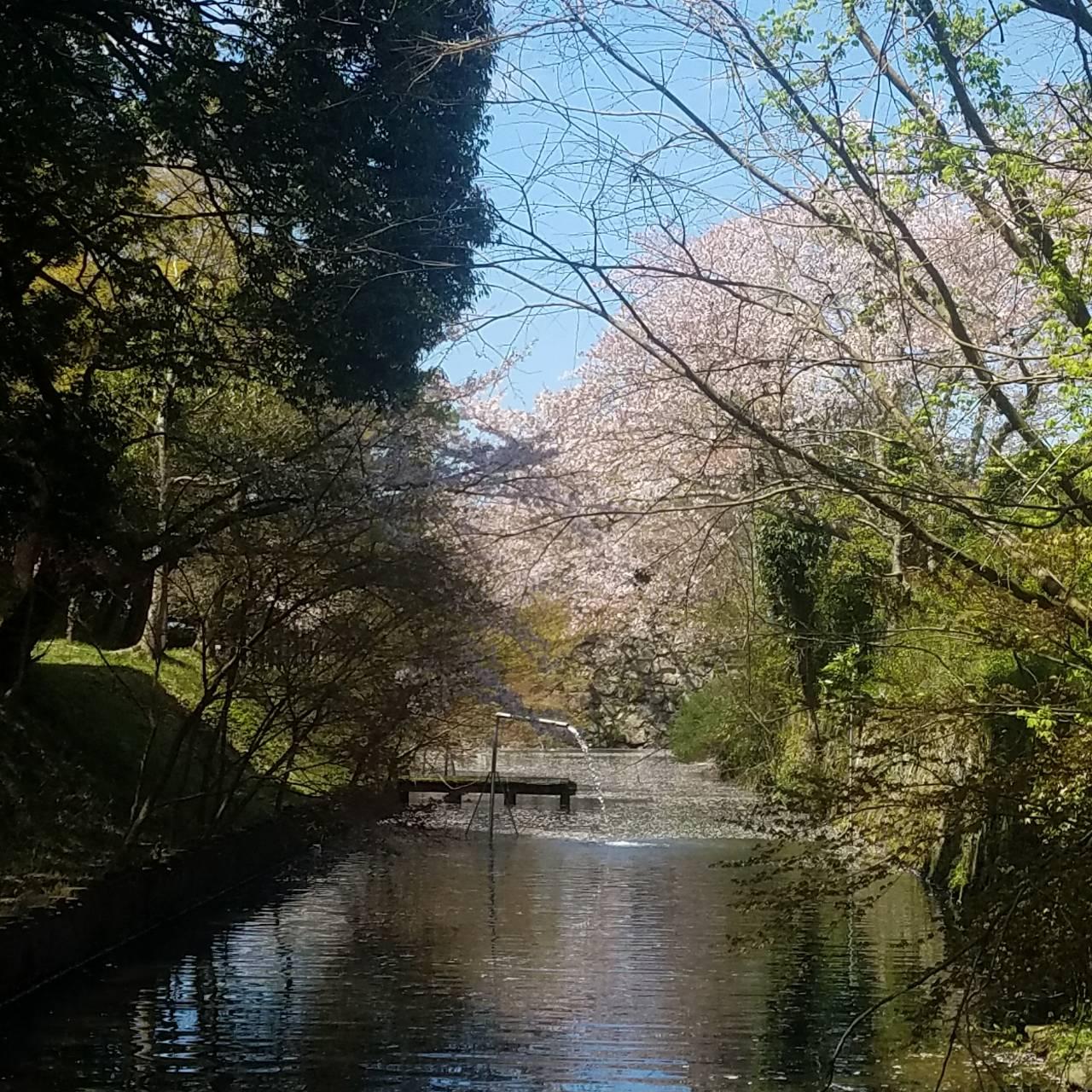 登城橋河川公園 桜