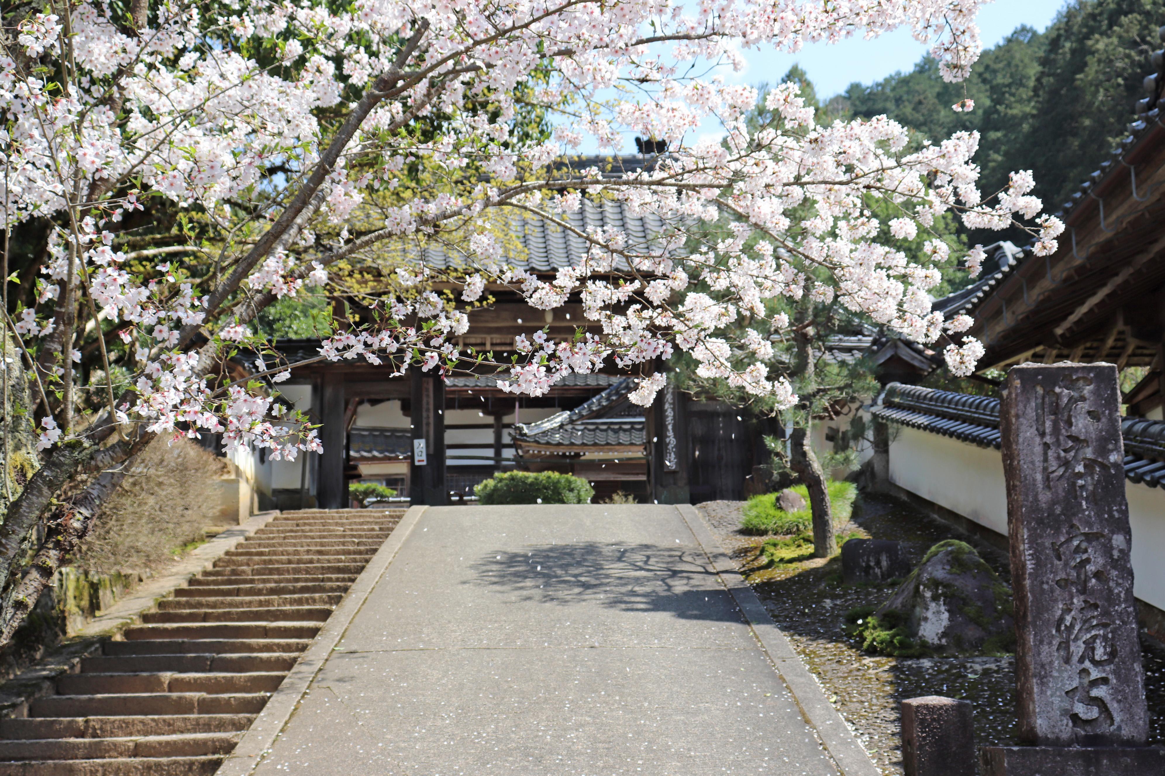 宗鏡寺 桜