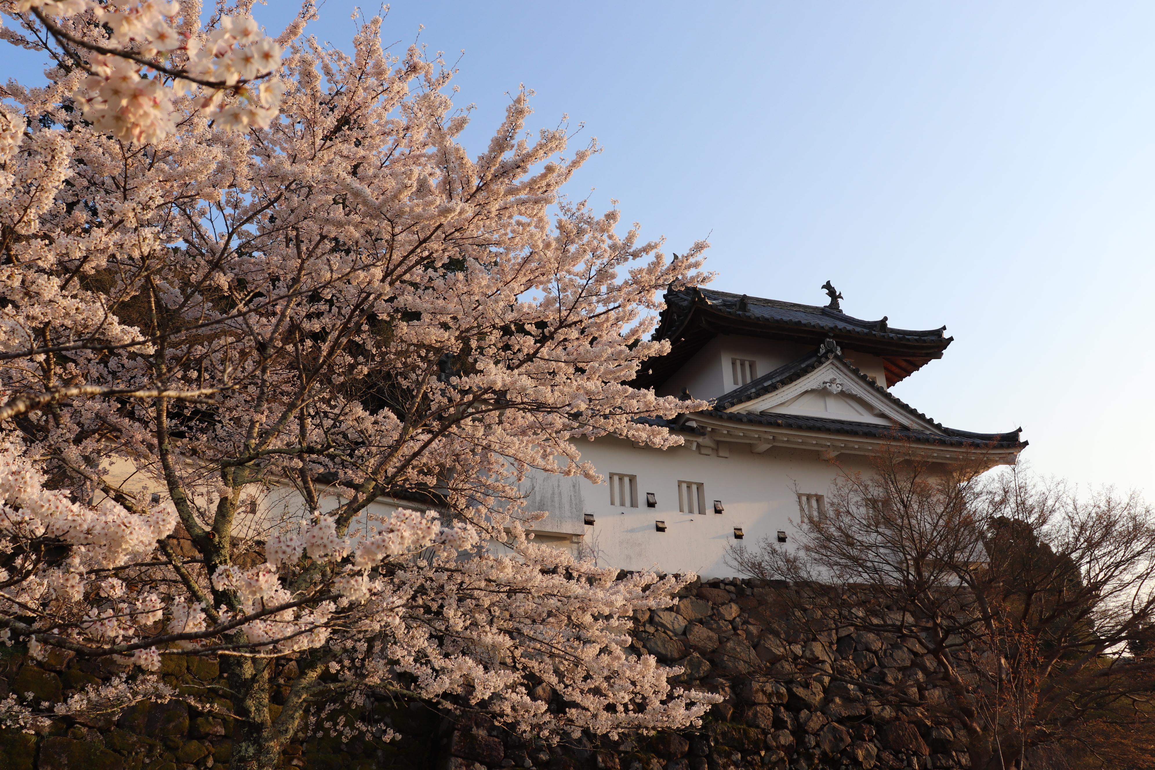 出石城 桜