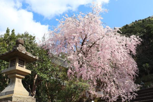 経王寺 桜