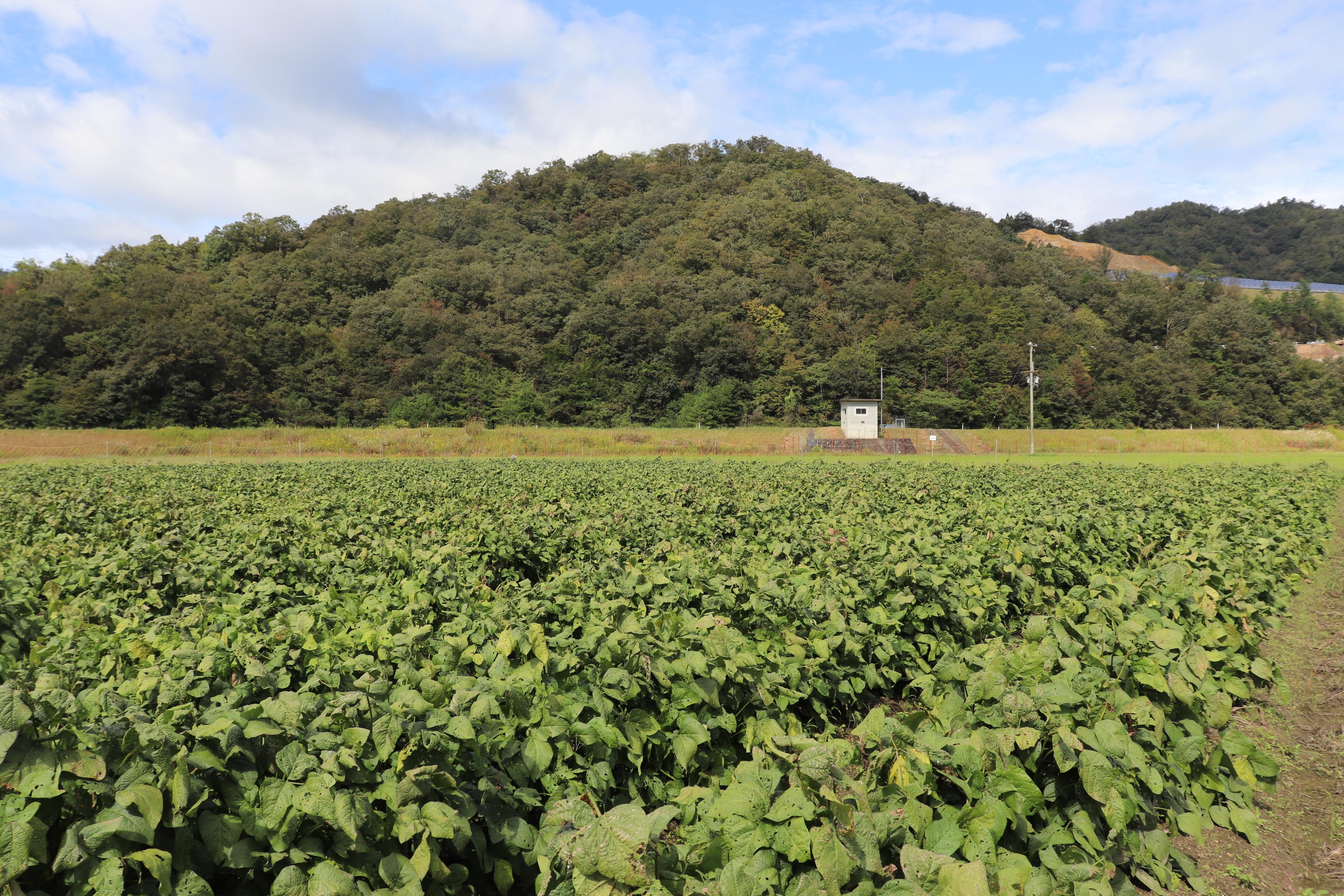 枝豆 農園